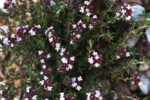 Φυτά και Βότανα τῆς Ἑλληνικῆς Γῆς και Θεραπευτική Χρήση αὐτῶν – Μέρος 9ο - Θυμάρι