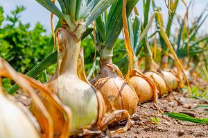 Φυτά και Βότανα τῆς Ἑλληνικῆς Γῆς και Θεραπευτική Χρήση αὐτῶν – Μέρος 11ο – Κρεμμύδι