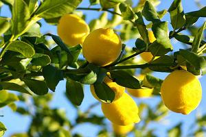 Φυτά και Βότανα τῆς Ἑλληνικῆς Γῆς και Θεραπευτική Χρήση αὐτῶν – Μέρος 14ο – Λεμόνι